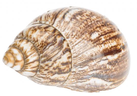 Achatschnecke 12–16 cm, natur