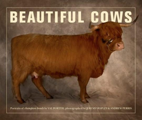 Beautiful Cows. Schöne Kühe.