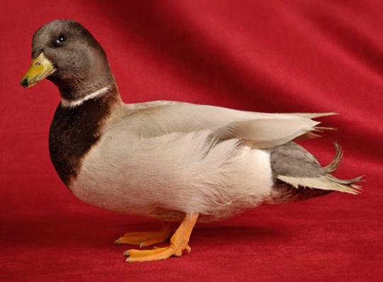 Beautiful Ducks. Schöne Enten.