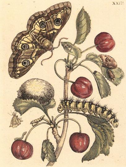 Maria Sibylla Merian. De Europische Insecten.