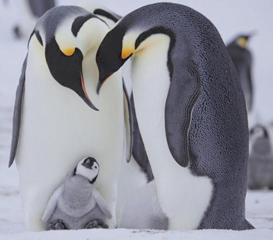Pinguine hautnah -  BBC DVD