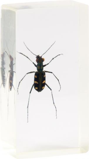 Schnellkäfer in Acrylblock gegossen. »Escarabajo saltador«.