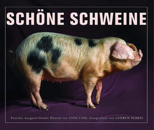 Schöne Schweine Porträts ausgezeichneter Rassen.