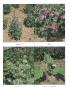 100 Heilpflanzen selbst gezogen: Anbau - Ernte - Anwendung. Bild 2
