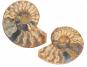 Ammonit, geteilt und poliert, 3-5 cm Bild 2