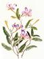 Blumen des Amazonas. Flowers of the Amazon Forests. The Botanical Art of Margaret Mee. Bild 2