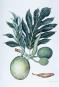 Geraldine King Tam. Paradisus. Pflanzenaquarelle aus Hawaii. Hawaiian Plant Watercolors. Bild 2