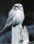 Greifvögel und Eulen Bild 2