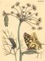 Maria Sibylla Merian. De Europische Insecten. Bild 2