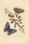 Maria Sibylla Merian. Metamorphosis insectorum Surinamensium. Die Verwandlung der surinamischen Insekten, 1705. Bild 2