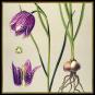 Pflanzen. Meisterwerke der botanischen Illustration. Wandkalender 2021. Bild 2