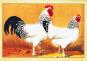 Schöne alte Hühnerrassen - 16 Kunstpostkarten Bild 2