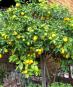 Samen »Zitronenbaum«. Bild 2