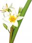Zwiebelblumen. Historische Sorten. Bild 2