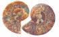 Ammonit, geteilt und poliert, 3-5 cm Bild 3