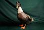 Beautiful Ducks. Schöne Enten. Bild 3