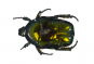 Blumenkäfer in Acrylblock gegossen. »Protaetia Elegans«. Bild 3