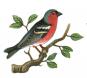 Die am häufigsten vorkommenden einheimischen Singvögel. Bild 3