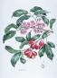 Geraldine King Tam. Paradisus. Pflanzenaquarelle aus Hawaii. Hawaiian Plant Watercolors. Bild 3
