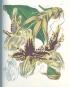 Orchideentafeln - Aus Curtis's Botanical Magazine Bild 3