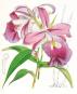 Orchideentafeln aus Curtis's Botanical Magazine. Bild 3