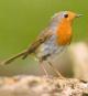 Vogelstimmen - Unsere Vögel und ihr Gesang Bild 3