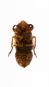 Zikade in Acrylblock gegossen. »Cryptotympana atrata«. Bild 3