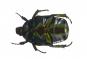 Blumenkäfer in Acrylblock gegossen. »Protaetia Elegans«. Bild 4