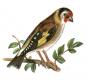 Die am häufigsten vorkommenden einheimischen Singvögel. Bild 4