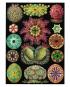 Ernst Haeckel. Kunstformen der Natur. Posterbuch mit 22 Postern. Bild 4