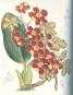 Orchideentafeln - Aus Curtis's Botanical Magazine Bild 4