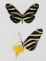 Schmetterlinge und ihre Flügel. Bild 4