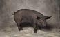 Schöne Schweine Porträts ausgezeichneter Rassen. Bild 4