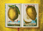 J. C. Volkamer. The Book of Citrus Fruits. Zitrusfrüchte. Bild 5