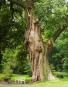 Riesige Eichen. Baumpersönlichkeiten und ihre Geschichten. Bild 5