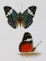 Schmetterlinge und ihre Flügel. Bild 5