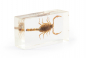 Skorpion in Acrylblock gegossen. »Mesobuthus martensii«. Bild 5