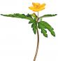 Zwiebelblumen. Historische Sorten. Bild 5