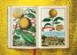 J. C. Volkamer. The Book of Citrus Fruits. Zitrusfrüchte. Bild 6