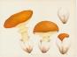 Jean-Henri Fabre. Pilze. Champignons. Bild 6