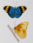 Schmetterlinge und ihre Flügel. Bild 6