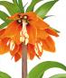 Zwiebelblumen. Historische Sorten. Bild 6
