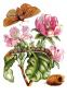 Maria Sibylla Merian. Blüten, Raupen, Schmetterlinge. Der Raupen wunderbare Verwandlung. Bild 7